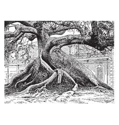 Ceiba casearia vintage vector