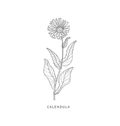 Calendula Hand Drawn Realistic Sketch vector
