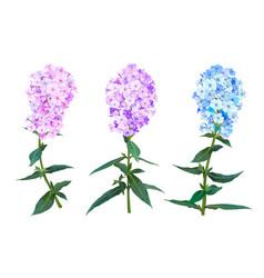 phlox spring flowers vector image