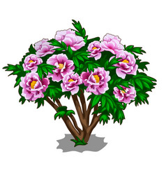 Bush of pink peonies isolated on white background vector