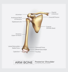 Shoulder arm bone vector