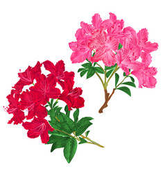 Branches pink and red flowers rhododendrons vector