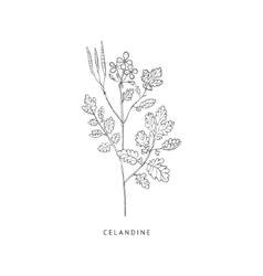Celandine Hand Drawn Realistic Sketch vector