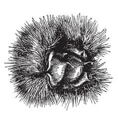 Native wild chestnuts vintage vector