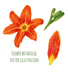 beautiful watercolor flowers orange lilies with vector image vector image