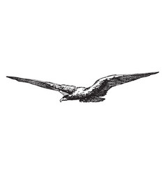 flying eagle is a natural form vintage engraving vector image