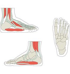 Foot bone eps 10 vector