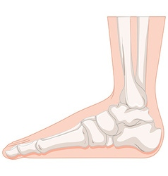 Foot bone in closer look vector
