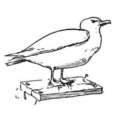 Seagull vintage vector