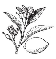 lemon vintage vector image