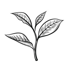 tea leaves vector image