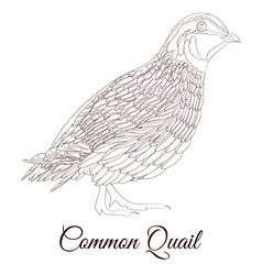 Common quail bird coloring vector