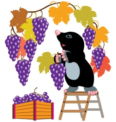 Mole harvesting grapes vector