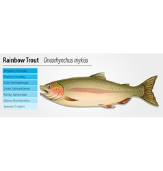 Rainbow Trout - Oncorhynchus mykiss vector