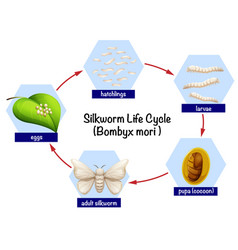 Science silkworm life cycle vector