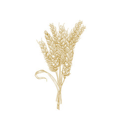 elegant natural detailed drawing bunch wheat vector image
