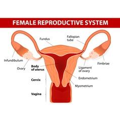 Uterus and uterine tubes vector image
