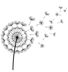 black fluff dandelion on white background vector image