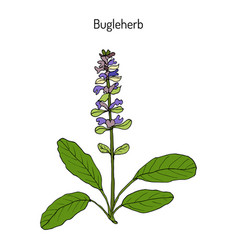 Bugleweed ajuga reptans or blue bugle bugleherb vector