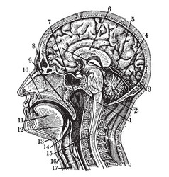 Sectional view of the head vintage vector