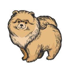 spitz dog animal color sketch engraving vector image