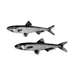 Anchovy fish collection vector