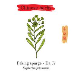 Medicinal herbs of china peking spurge vector