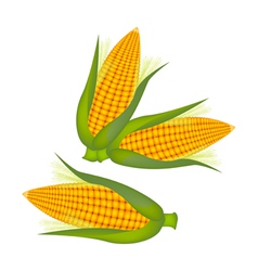 Three ears of corn with husk and silk vector