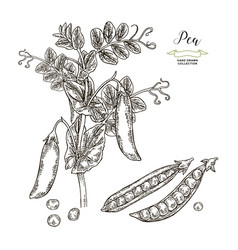 Pea plant isolated on white background hand drawn vector