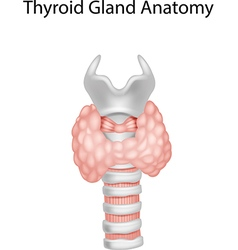 Cartoon of Thyroid Gland Anatomy vector image