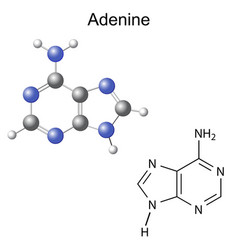 Chemical structural formula and model of adenine vector image