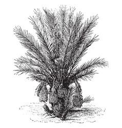 Deglet noor date palm vintage vector