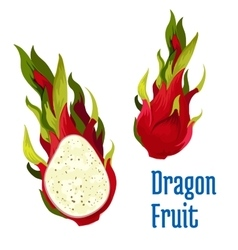 Exotic tropical dragon fruit icon vector
