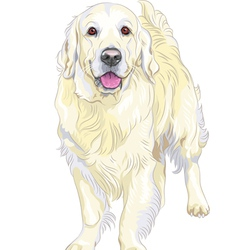 Dog breed Labrador Retriever vector