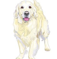 Dog breed labrador retriever vector