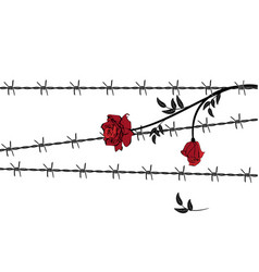rose with barbed wire vector image