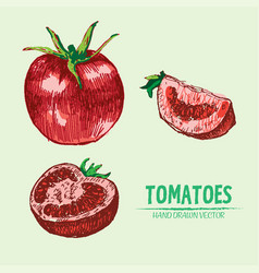 digital detailed tomato hand drawn vector image