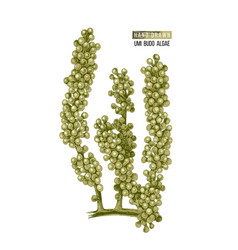 Hand drawn sea grapes or umi budo algae vector