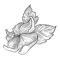 wild flower blossom hibiscus plant isolated vector image
