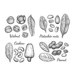 Walnut cashew pistachio and peanut vector