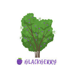 Blackberry garden berry bush with name vector