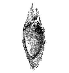 Promethea cocoon vintage vector