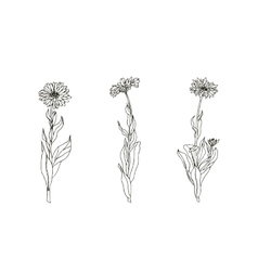 Set of medicinal plant Black and white calendula vector