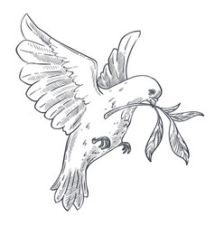 Dove or pigeon with olive branch isolated bird vector