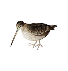 Eurasian woodcock vector