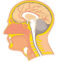 Human internal brain anatomy vector