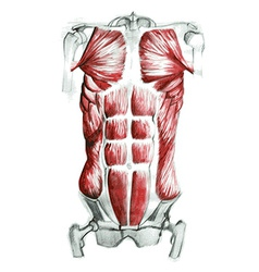 Abdominal muscles vector