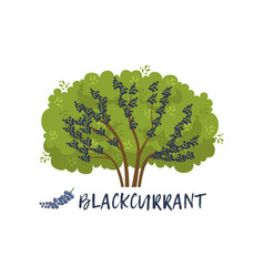 Blackcurrant garden berry bush with name vector