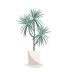 dracaena flat home plant in vector image