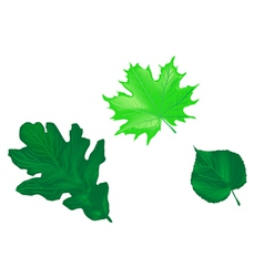 leaves of the trees oak maple linden vector image